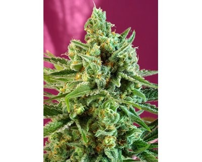 S.A.D. CBD (Sweet Seeds) feminized