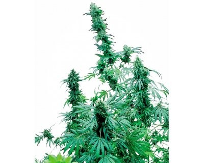 Early Skunk (Sensi Seeds) feminized