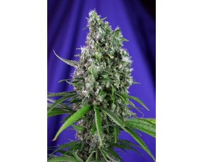 Sweet Trainwreck Auto (Sweet Seeds) féminisée