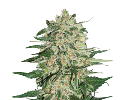 Big Bud (Seedstockers) feminisiert