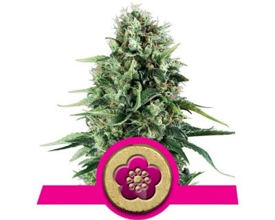 Power Flower (Royal Queen Seeds) gefeminiseerd
