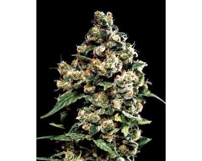 Jack Herer (Greenhouse) feminized