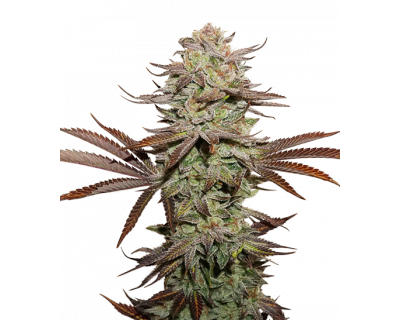Sticky Fingers Auto (Seedstockers) feminized