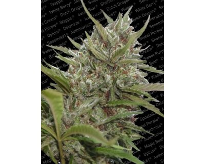 Auto White Berry (Paradise Seeds)