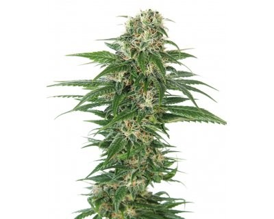 Early Skunk Automatic (Sensi Seeds) feminized