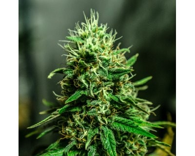 Auto White (Azarius Seeds) feminized