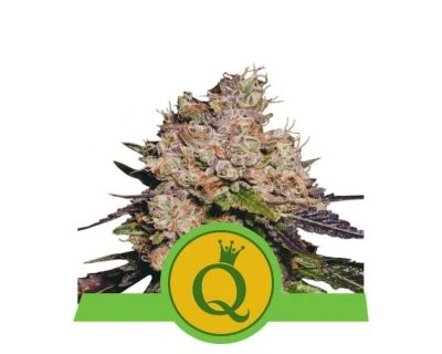 Purple Queen Automatic (Royal Queen Seeds)