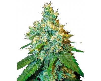 Jack Herer (Sensi Seeds) feminized