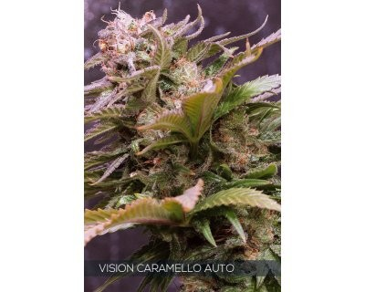 Vision Caramello Auto (Vision Seeds)