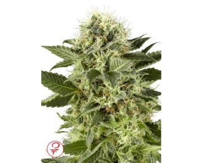 Northern Lights (White Label) feminized