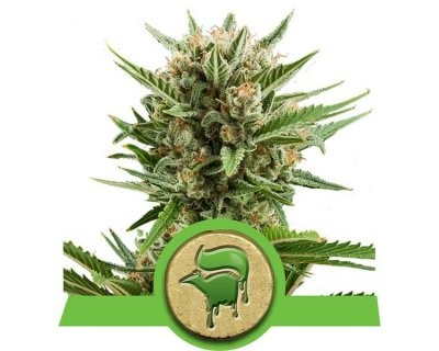 Sweet Skunk Automatique (Royal Queen Seeds) féminisée