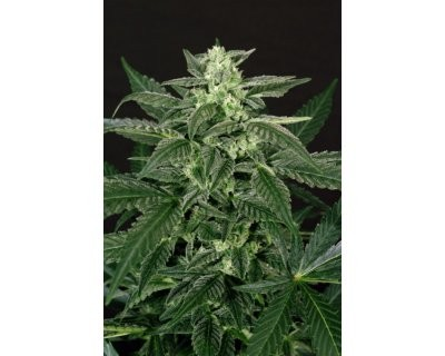 Triple A (Exotic Seed) feminisiert
