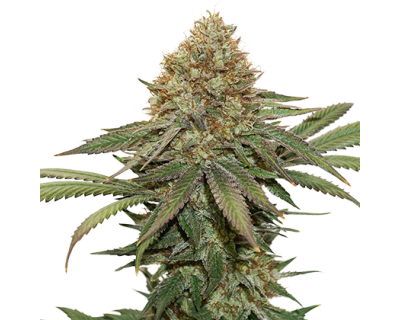 Fruit Cake Auto (Seedstockers)