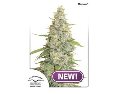 Meringue (Dutch Passion) feminized