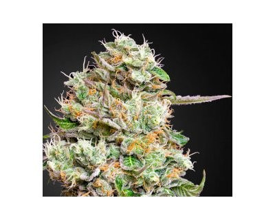 King's Kush Autoflowering CBD (Green House) feminized
