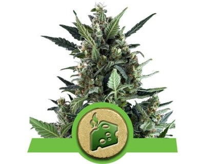 Blue Cheese Automatique (Royal Queen Seeds) féminisée