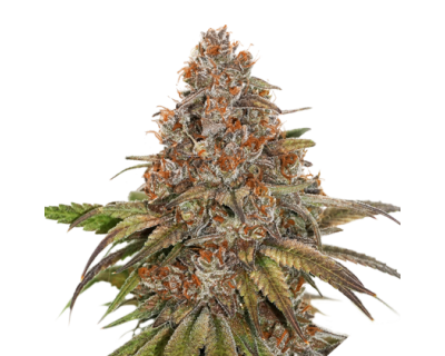 Blackberry Gum (Seedstockers) feminized