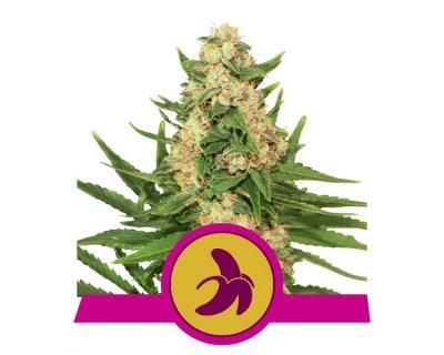 Fat Banana (Royal Queen Seeds) féminisée
