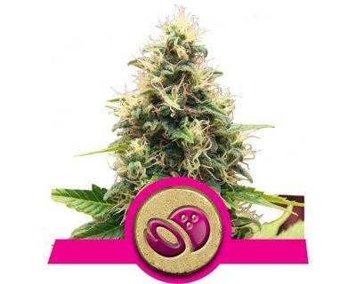 Somango XL (Royal Queen Seeds) feminized