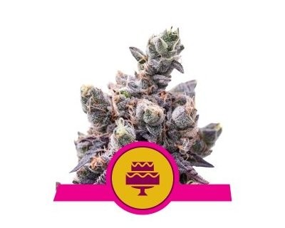 Wedding Gelato (Royal Queen Seeds) feminized