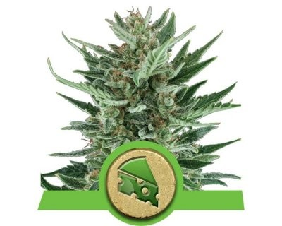 Royal Cheese Automatic (Royal Queen Seeds) feminisiert