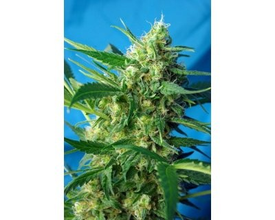 Ice Cool Auto (Sweet Seeds) feminized