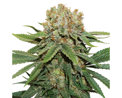 Thin Mint Crack (Seedstockers) gefeminiseerd