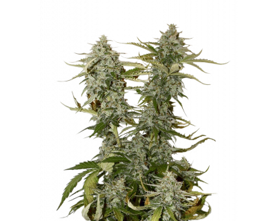 Candy Dawg (Seedstockers) feminized
