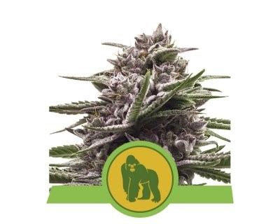 Royal Gorilla Automatic (Royal Queen Seeds) féminisée