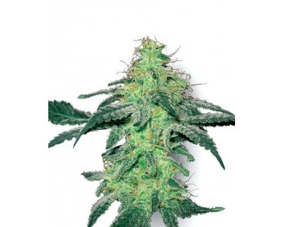 White Skunk (White Label) feminized