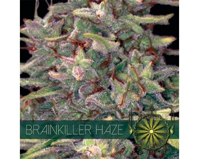 Brainkiller Haze (Vision Seeds) feminized