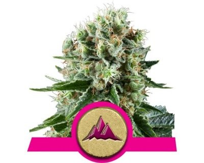 Critical Kush (Royal Queen Seeds) féminisée