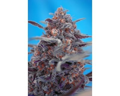 Devil Cream (Sweet Seeds) feminisiert