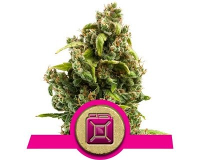 Sour Diesel (Royal Queen Seeds) féminisée