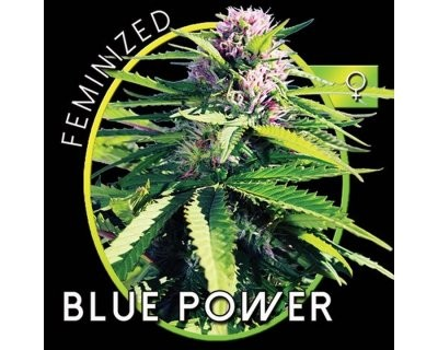 Blue Power (Vision Seeds) feminisiert